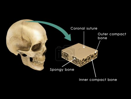 Suture between skull bones