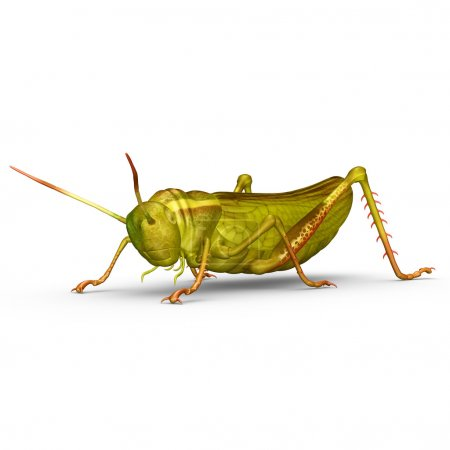 The grasshopper is an insect of the suborder Caeli...