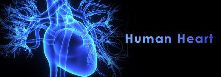 Photo pour Le cœur est un organe musculaire de la taille d'un poing fermé qui fonctionne comme la pompe circulatoire du corps. - image libre de droit