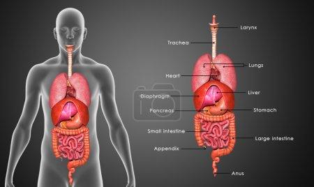Photo pour Les organes sont composés de tissus principaux, le parenchyme. Le tissu principal est celui qui est unique pour l'organe spécifique, tel que le myocarde, le tissu principal du cœur, tandis que les tissus sporadiques comprennent les nerfs, les vaisseaux sanguins et les tissus conjonctifs. . - image libre de droit