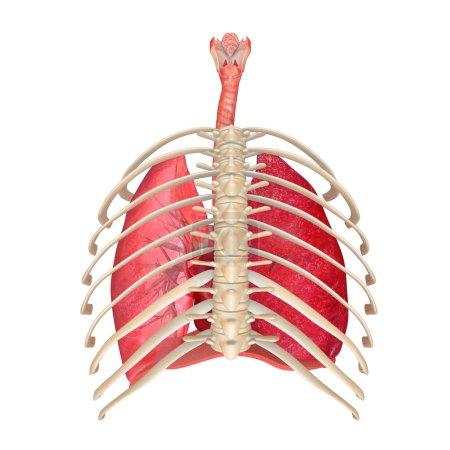 Photo pour Le système respiratoire (appelé aussi appareil respiratoire, système ventilatoire) est un système biologique composé d'organes et de structures spécifiques utilisés pour le processus de respiration dans un organisme. - image libre de droit