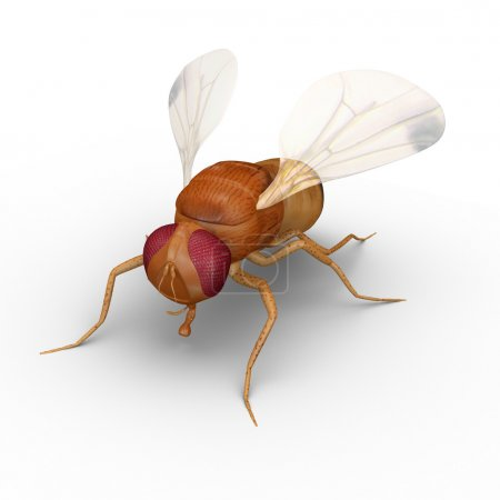 Fruit fly on white
