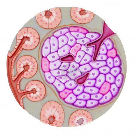 Pancreatic gland on white