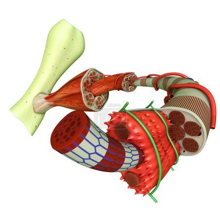 Muscle Tissue anatomy. illustration on white backg...