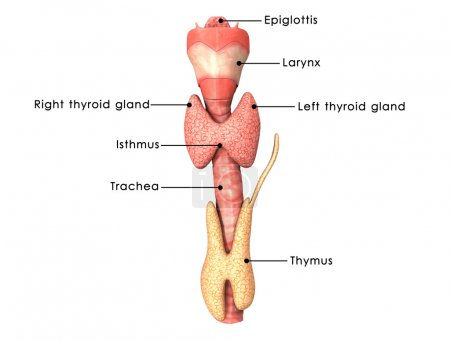 Thyroid glands anatomy
