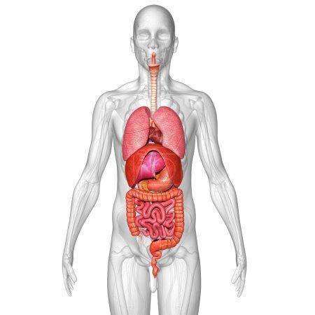 Photo pour Anatomie des organes humains. isolé sur fond blanc - image libre de droit