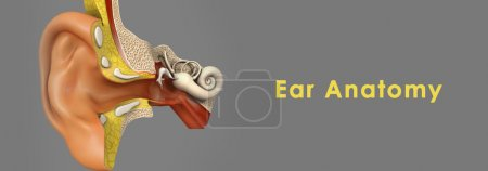 Human Ear Anatomy. 3d image isolated on grey...