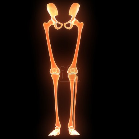 Human Skeleton legs anatomy