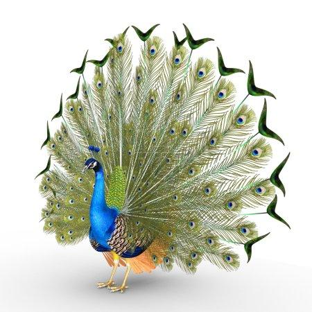 Peacock colorful bird
