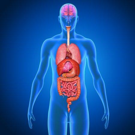 Photo pour Anatomie des organes humains. médecine, concept scientifique - image libre de droit