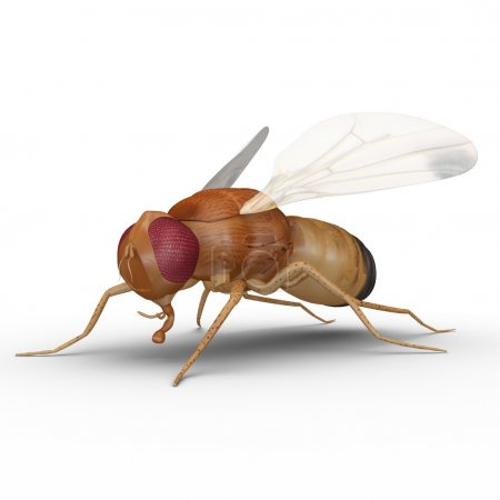 Fruit fly insect