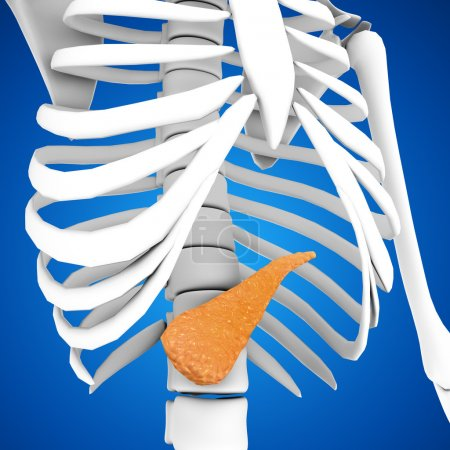 Human Pancreas anatomy