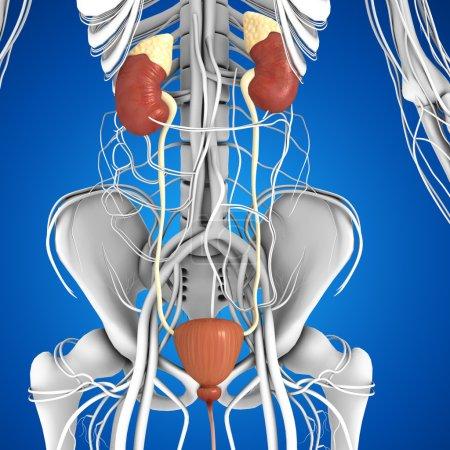 Photo pour Anatomie des reins humains. squelette sur fond bleu - image libre de droit