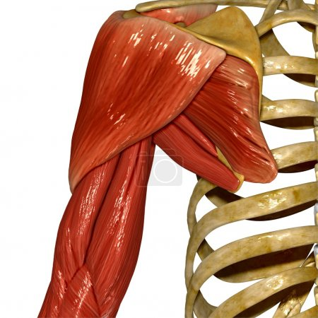 Shoulder Muscles, Human Anatomy