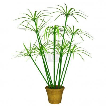 Green Cyperus on white background...