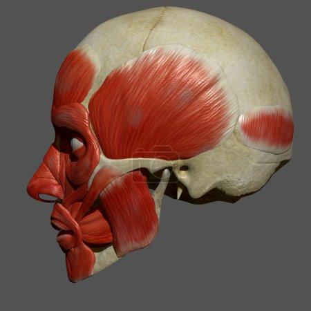 Facial Muscles, Human Anatomy