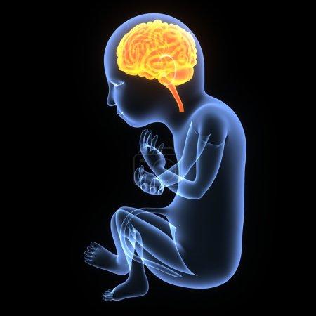 Fetal development of human brain