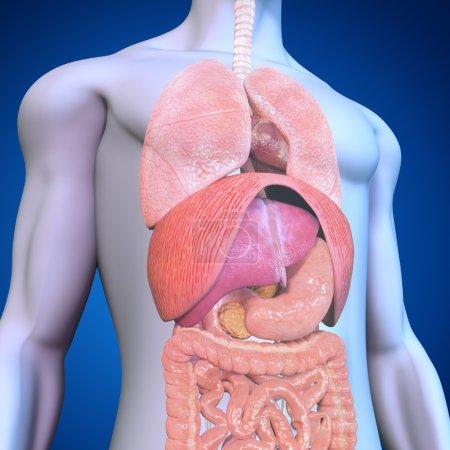 Photo pour Anatomie humaine sur fond bleu - image libre de droit