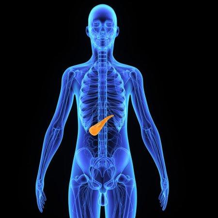 Pancreas, human anatomy