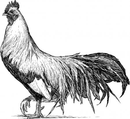 proud rooster sketch