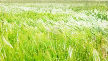 Photo for Green field of tall grass - Royalty Free Image