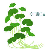 fresh gotukola leaf in withe backgruond vector