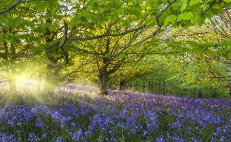 Sunburst through trees illuminating bluebells