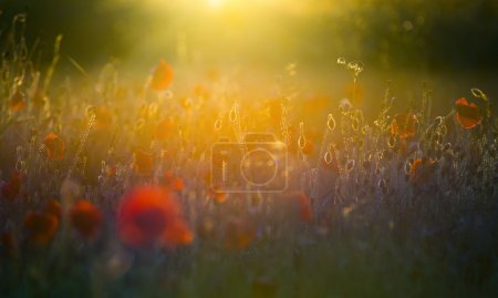 Photo pour A field of bright, red poppies in a field under a setting sun - image libre de droit