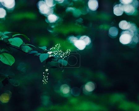 Beautiful fairy dreamy magic white jasmine or cherry flowers on tree branch in forest with dark green  leaves, retro vintage color, soft selective focus, blurry background with bokeh