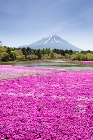 Japan Shibazakura Festival with the field of pink moss of Sakura