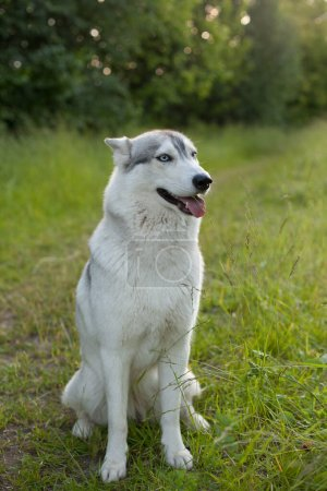 Siberian Husky Sitting on the green grass in the P...