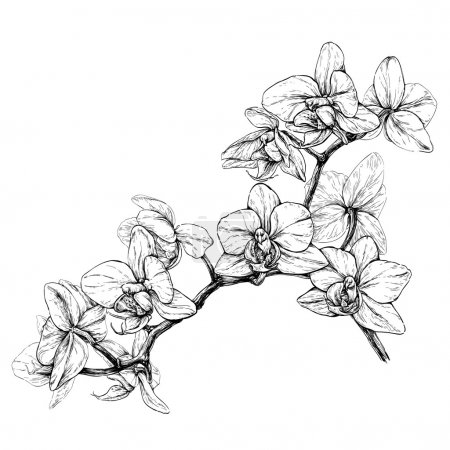 Illustration for Hand drawn orchid branch sketch. Black and white vector illustration isolated on white - Royalty Free Image