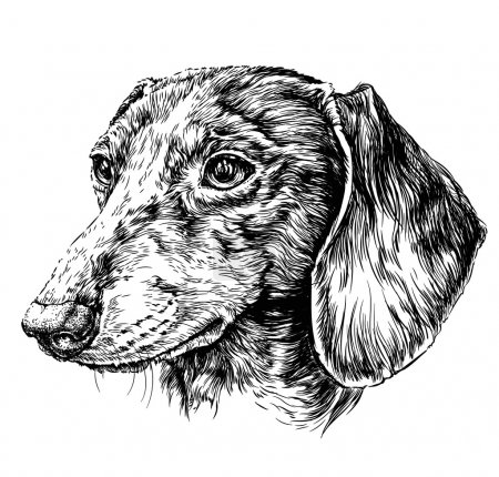 Sketch of Dog Dachshund.