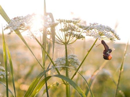 Photo pour Plante herbacée avec escargot le matin d'été lever du soleil, faible profondeur de champ - image libre de droit