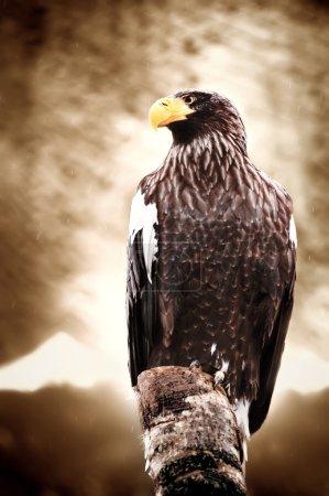 American sea eagle
