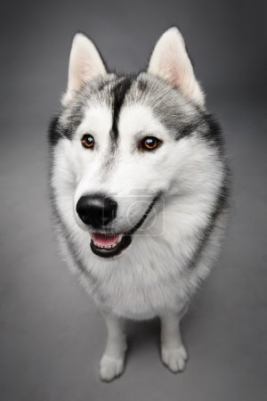 Siberian husky on gray