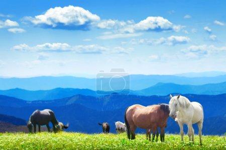 Photo pour Troupeau de chevaux sauvages broutant sur les champs de montagne. Altaï, Sibérie - image libre de droit