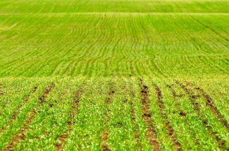 Photo for Green agricultural field on hills background - Royalty Free Image