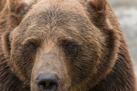 A brown bear closed in a cage in the zoo