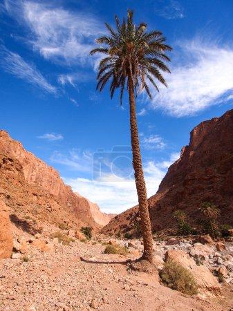 palmier dans les gorges de todra