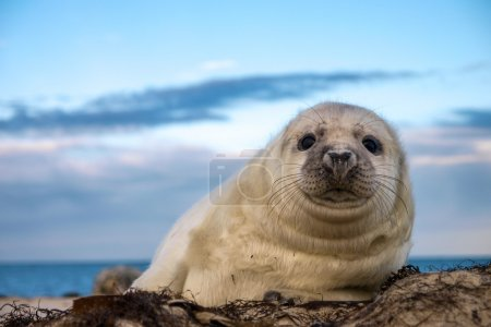 Young puppy seal