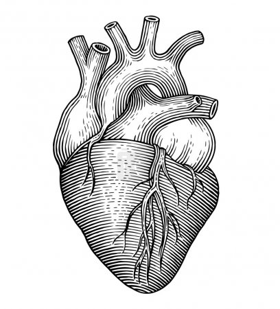 Illustration for Engraving vector heart isolated on a white backgrounds - Royalty Free Image