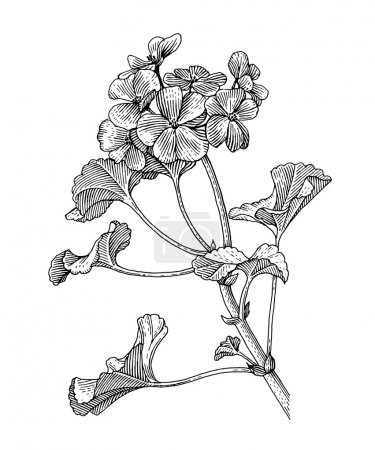 Illustration for Sprig of blooming geranium, black and white graphics - Royalty Free Image