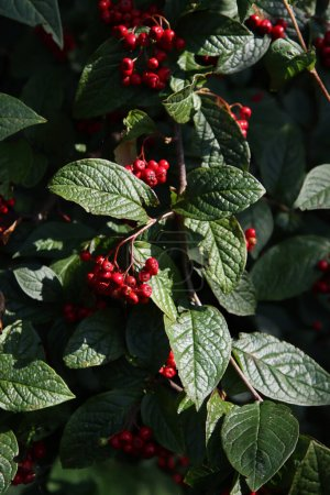 Photo for Wild rowan berries on a bush. Dark green leaves, red juicy berries close up photo. Autumn plant photo. - Royalty Free Image