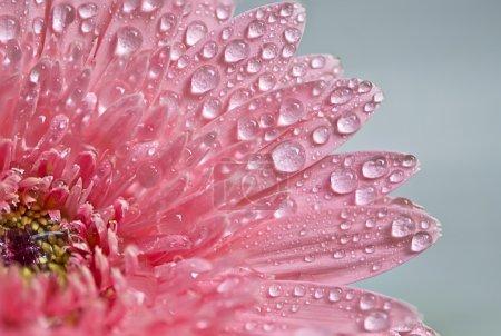 Foto de Gerbera rosado con gota de agua en la mañana - Imagen libre de derechos