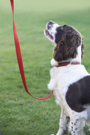 Obedient Spaniel Dog On Leash Outdoors