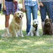 Group Of Dogs With Owners At Obedience Class...