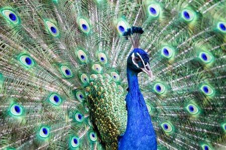 Beautiful peafowl in nature