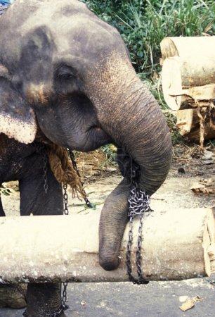 elephant working with wood