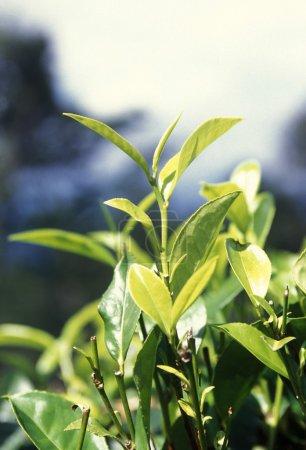 a tea plantation in the town of Nuwara Eliya